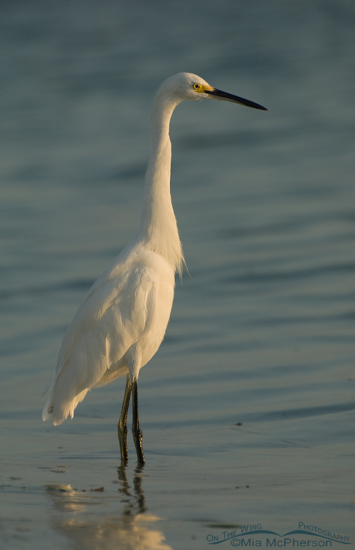 Snowy Egret in early morning light
