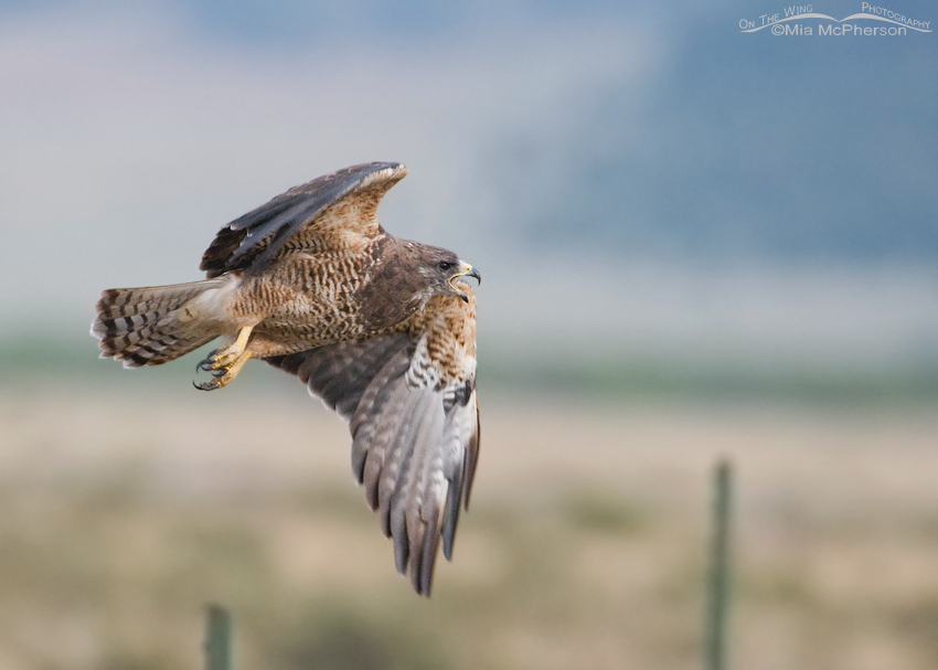 Adult Swainson's Hawk calling while in flight