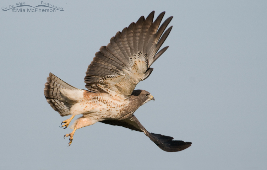 Swainson's Hawk just after lift off