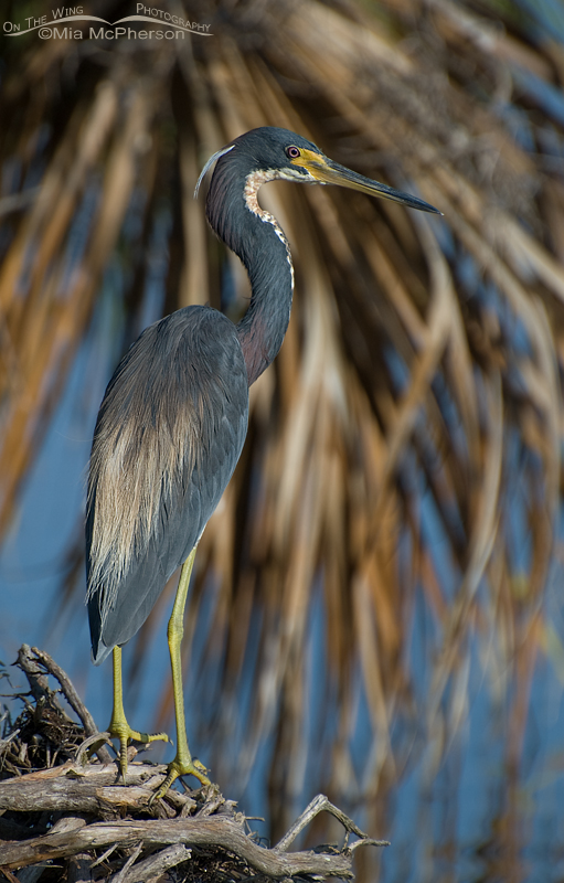 Tricolored Heron on the shore of Lake Maggiore