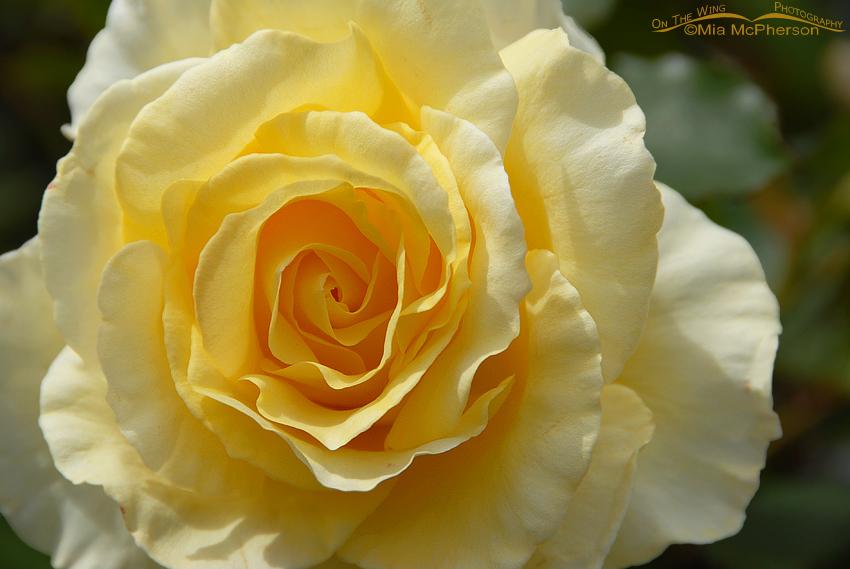Yellow Rose, Wellington, New Zealand