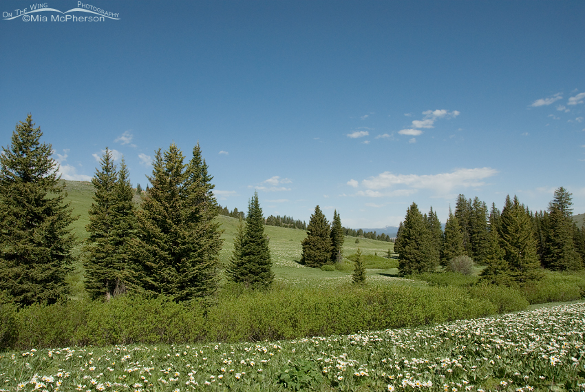 Big sky, wildflowers and firs