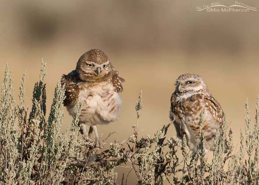 Adult and juvenile Burrowing Owl