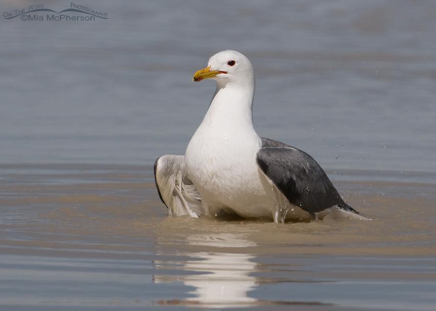 California Gull bathing