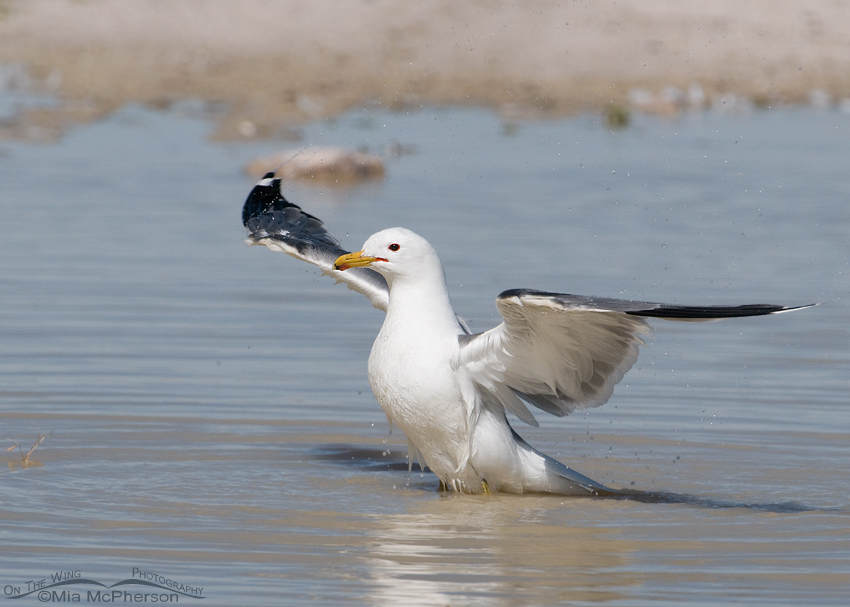 California Gull shaking the water off its wings