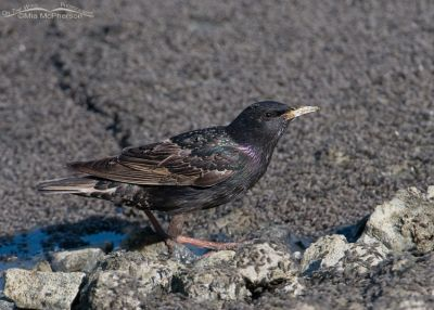 European Starling eating Brine flies on the shoreline of the Great Salt Lake