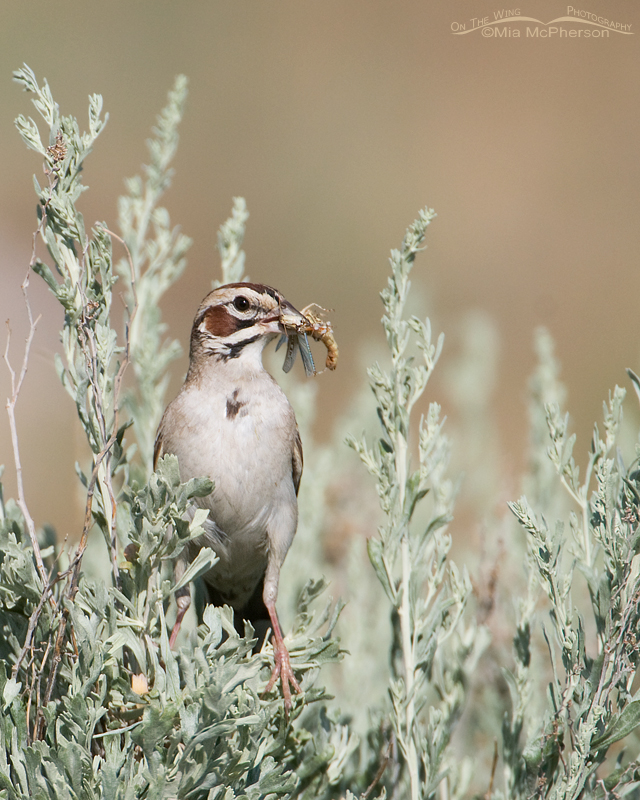 Vertical Lark Sparrow with a grasshopper