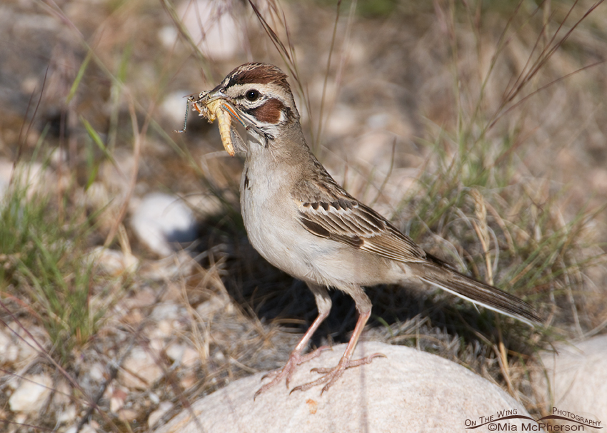 Close up of a Lark Sparrow with a grasshopper