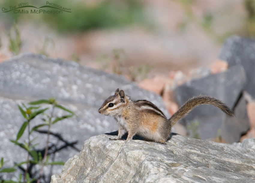 Least Chipmunk on the Mount Nebo Scenic Byway