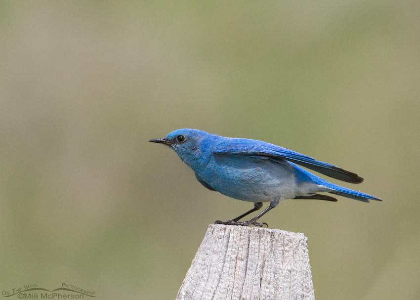 Male Mountain Bluebird in a breeze