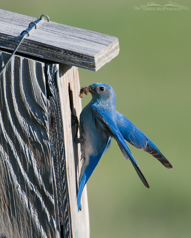 Mountain Bluebird male bringing in prey for its young