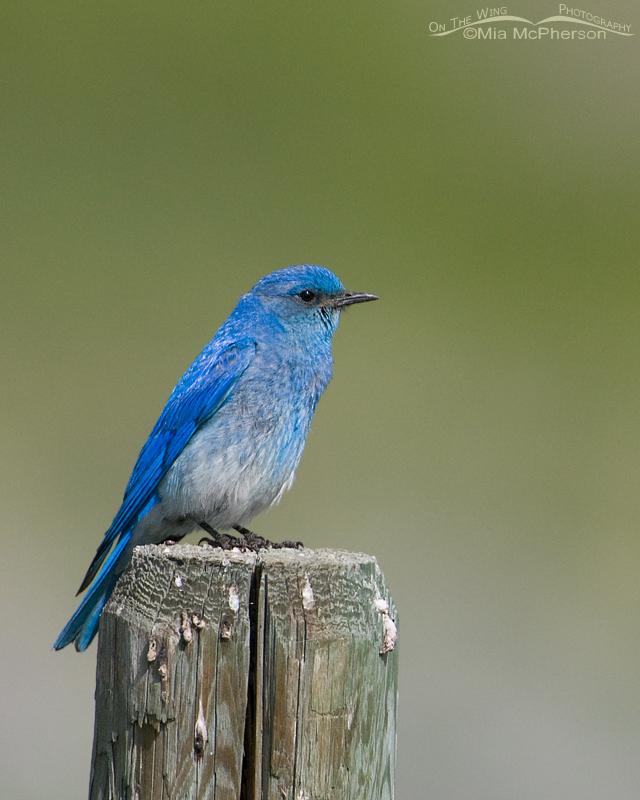 Beautiful blue Mountain Bluebird