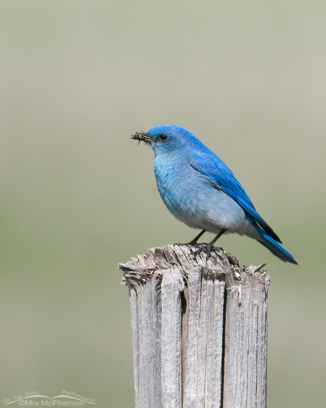 Male Mountain Bluebird with prey for its nestlings