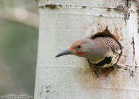Northern Flicker in its nest