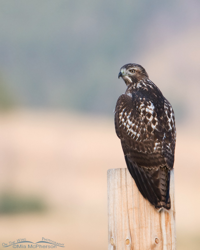 Juvenile Red-tailed Hawk on a fencepost in Montana
