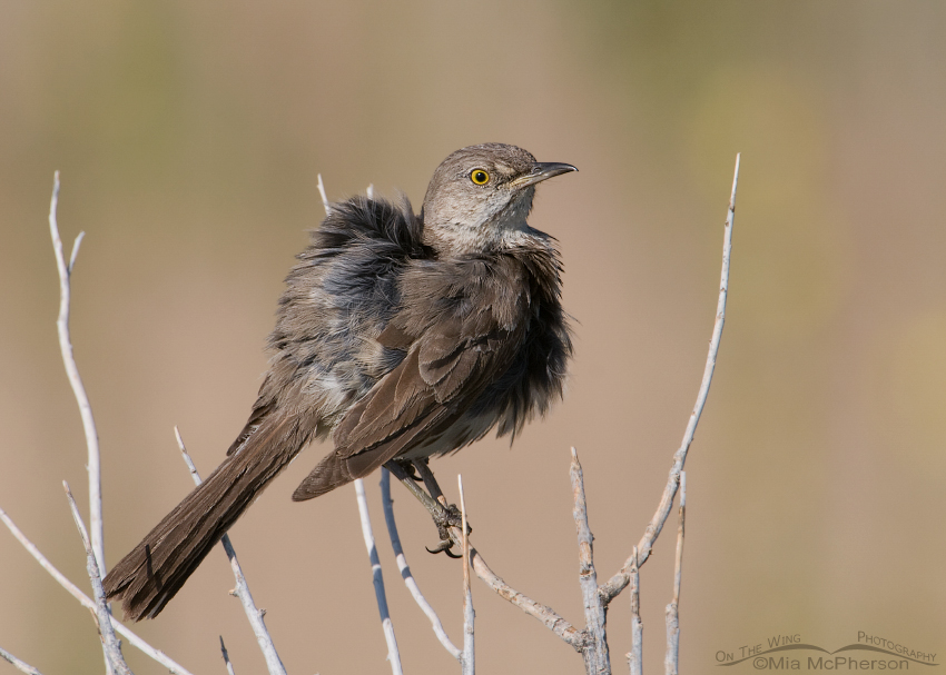 Fluffed up Sage Thrasher