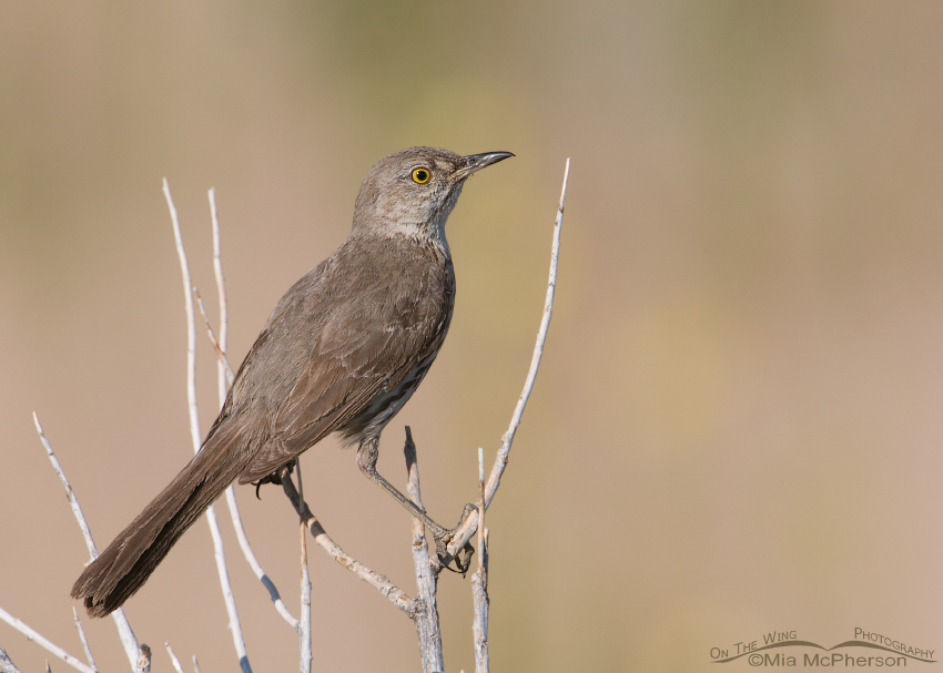 Back view of a Sage Thrasher