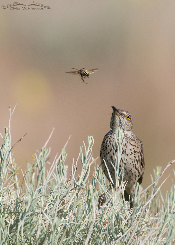 A Sage Thrasher with its eye on a Paper Wasp
