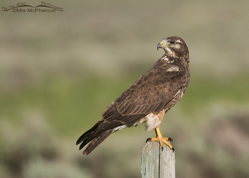 Swainson's Hawk in its first spring