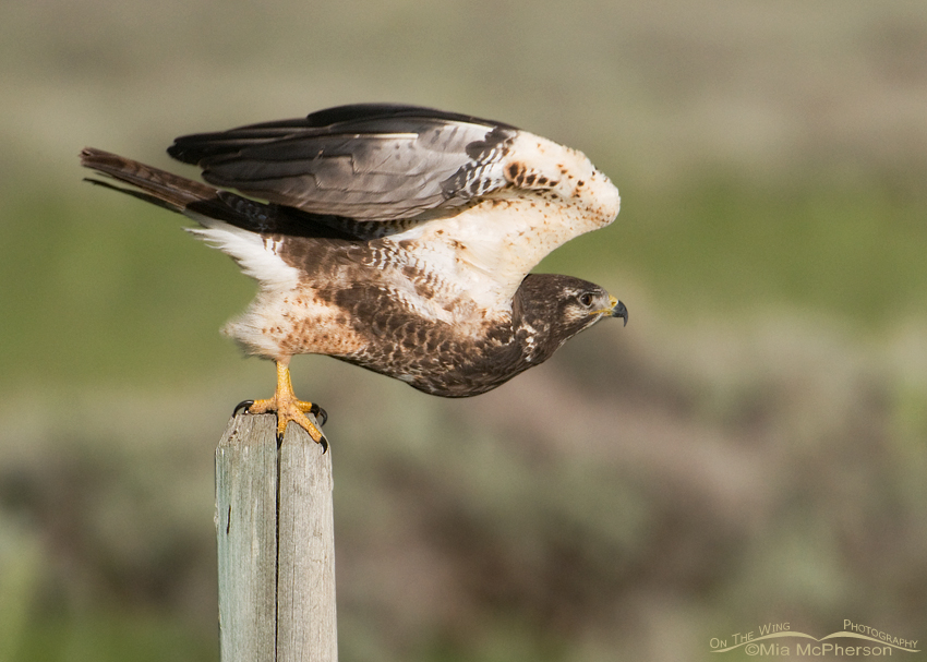 First spring Swainson's Hawk lifting off
