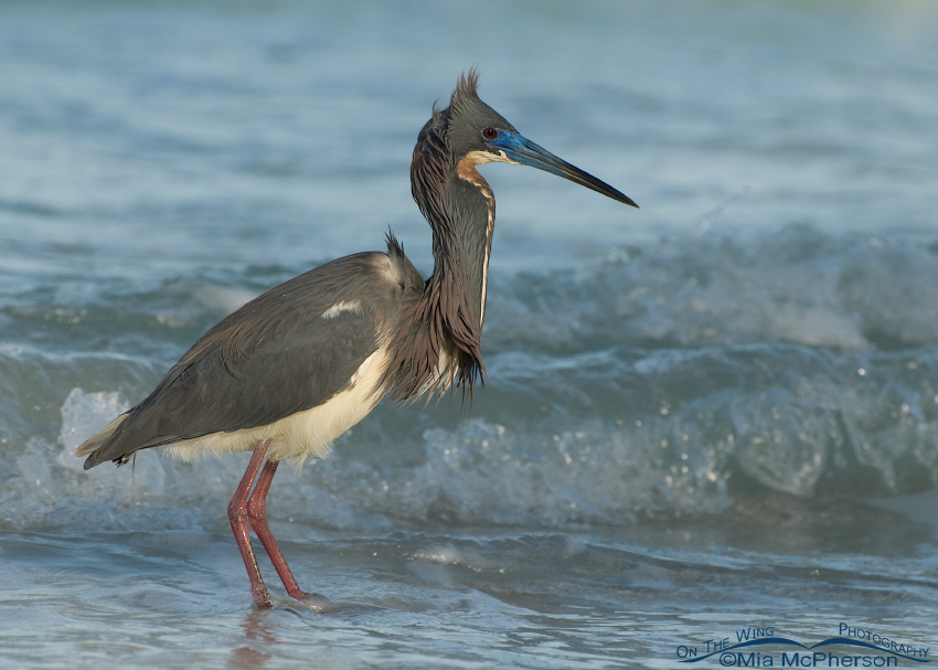 Tricolored Heron in a breeze