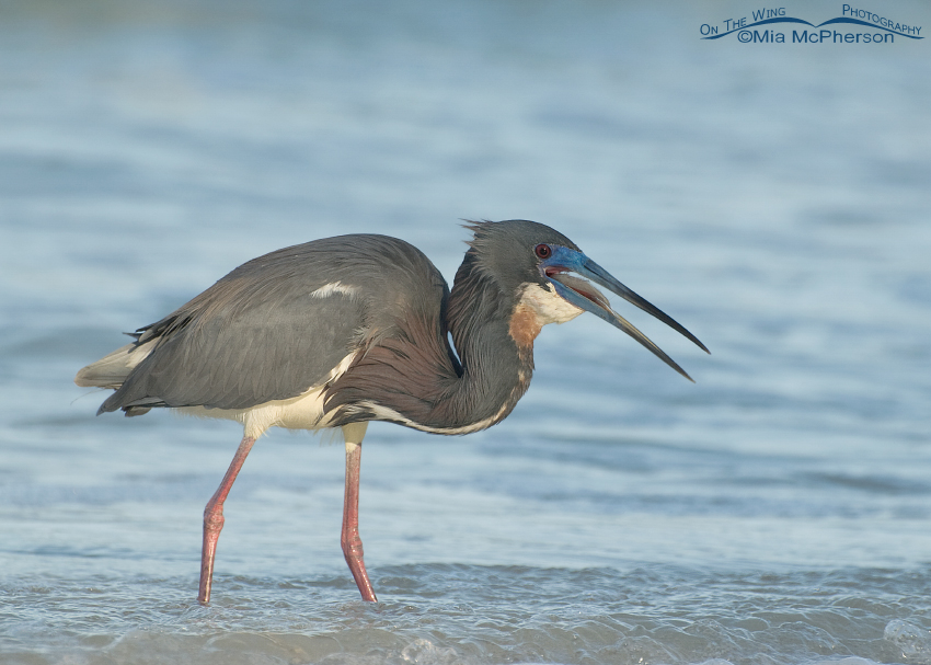 Tricolored Heron swallowing its prey