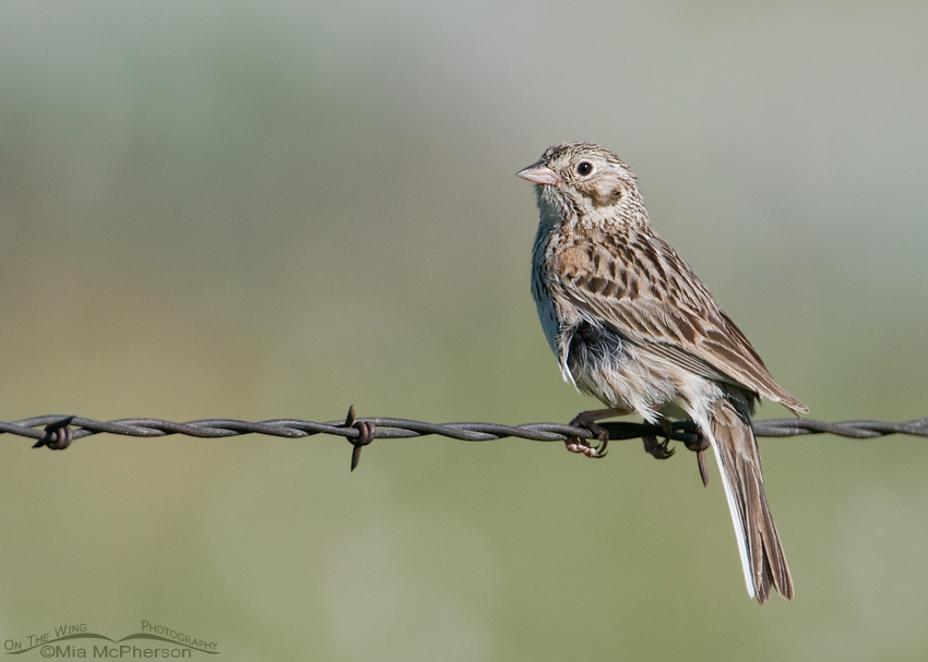Vesper Sparrow on the Alaska Basin trail