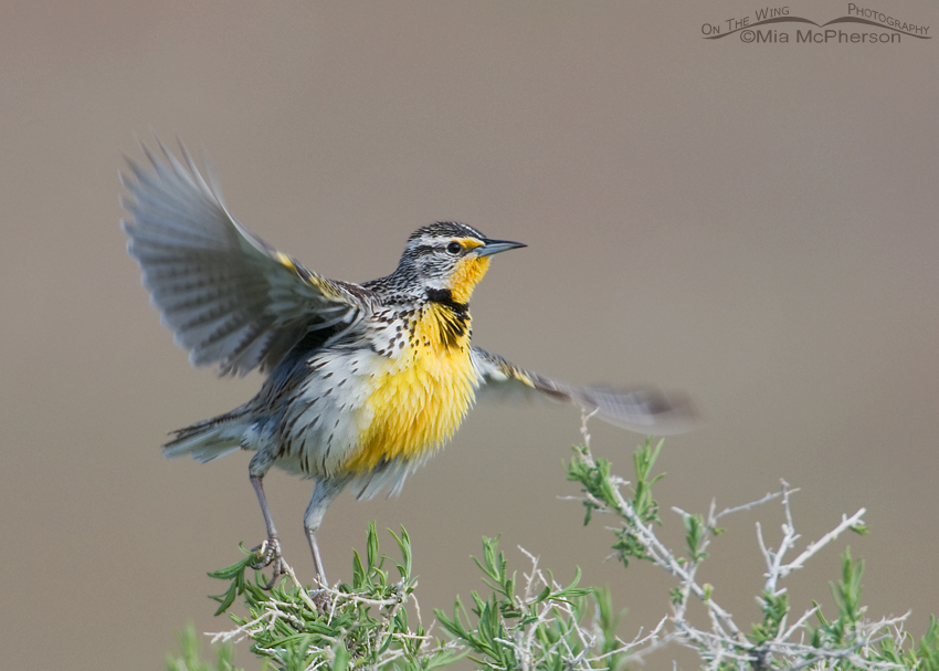 Western Meadowlark - Push and lift off