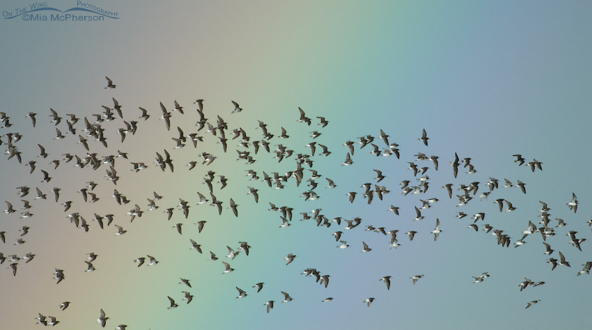 A flock of Wilson's Phalaropes in a rainstorm with a rainbow