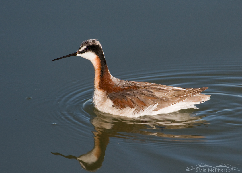 Female Wilson's Phalarope foraging