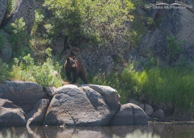 American Black Bear along the Big Hole River