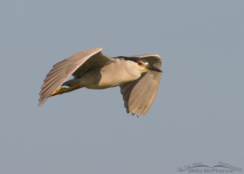Black-crowned Night Heron Fly By