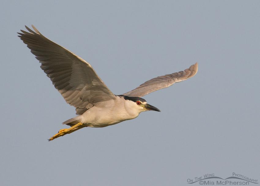 Black-crowned Night Heron in flight over the Bear River Migratory Bird Refuge
