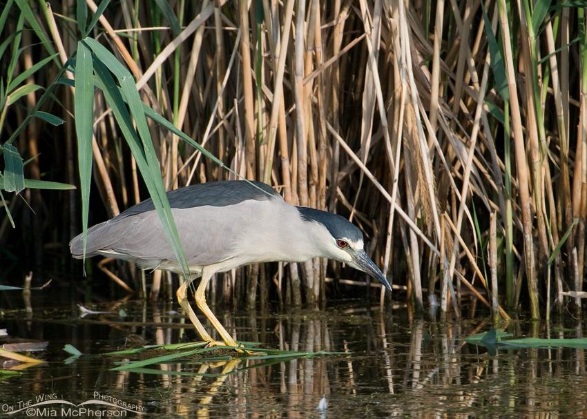 Black-crowned Heron foraging
