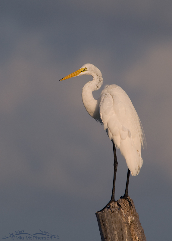Great Egret in front of a stormy sky