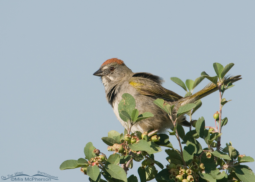 Green-tailed Towhee high up on Bountiful Canyon