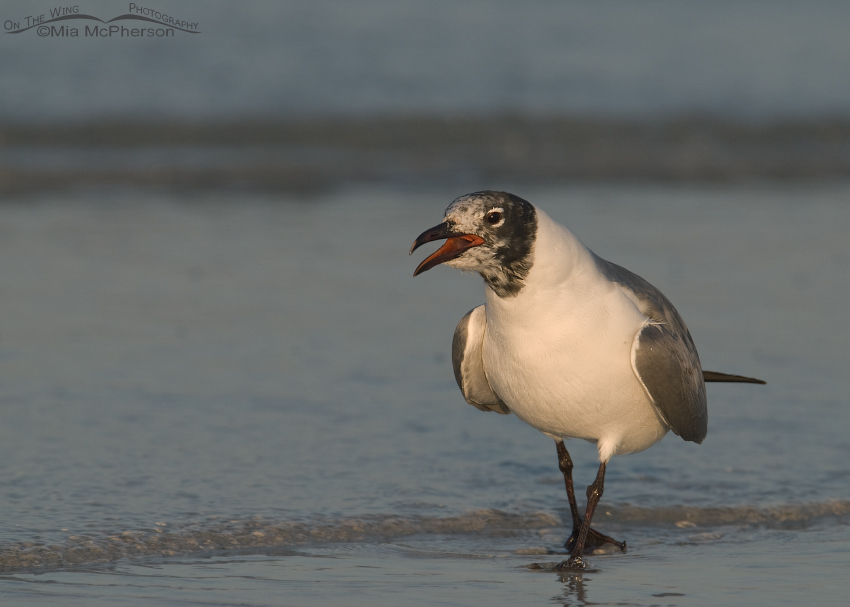 "Laughing Gull calling because of an ""intruder"""