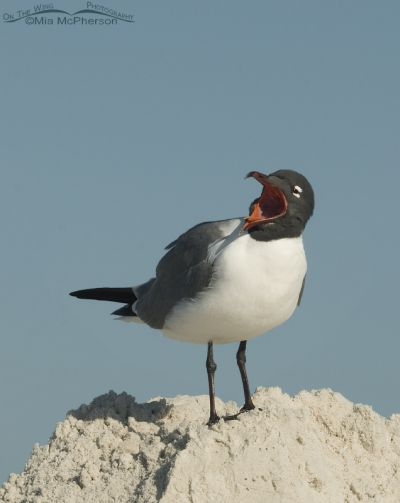 Calling Laughing Gull in breeding plumage