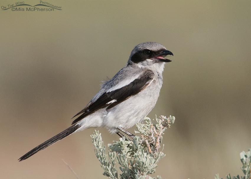 Calling adult Loggerhead Shrike