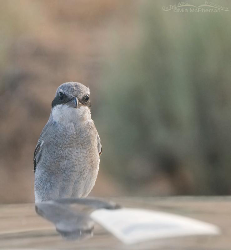 Loggerhead Shrike juvenile on the pickup hood