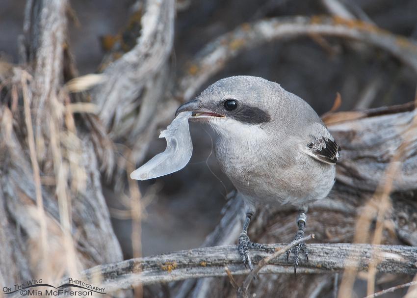 Loggerhead Shrike juvenile with plastic trash