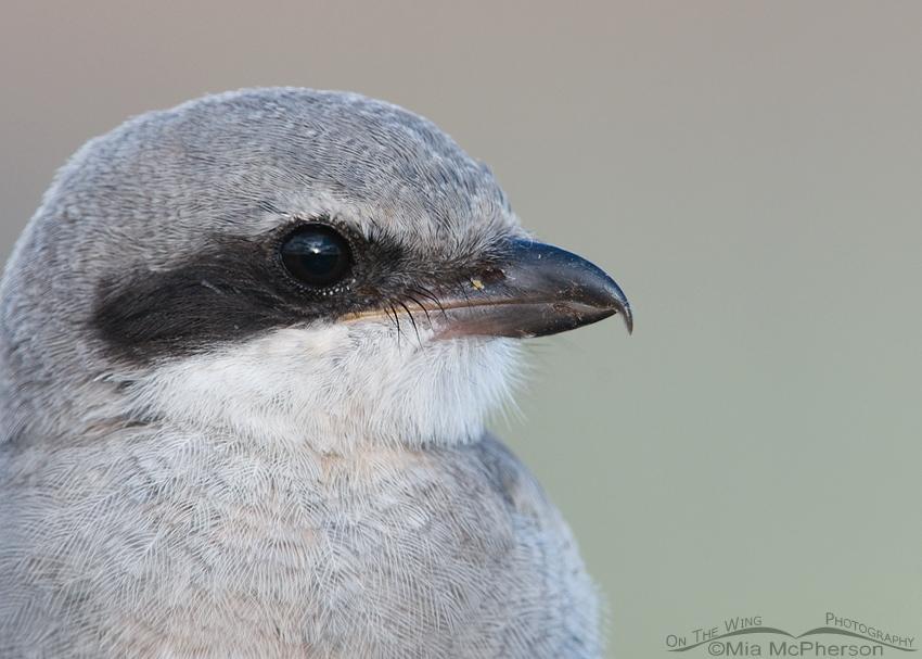 Another fledgling Loggerhead Shrike portrait