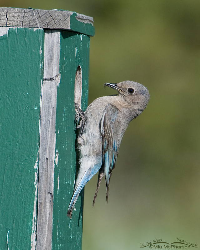 Female Mountain Bluebird with prey at the nest box