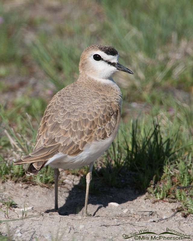 Over the shoulder look from a female Mountain Plover