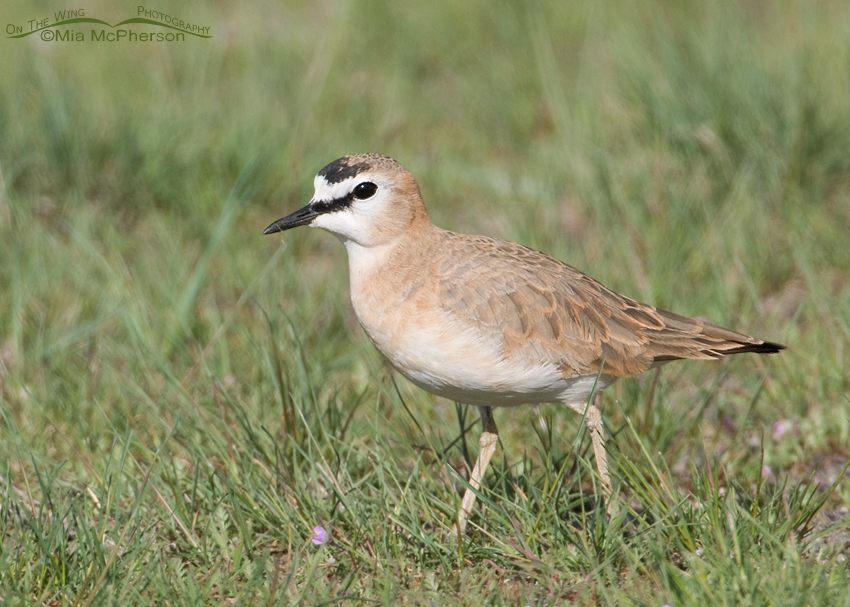 Mountain Plover male in the grass