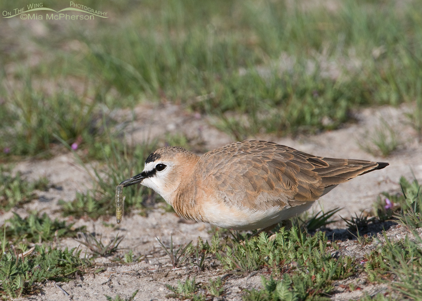 Male Mountain Plover with a caterpillar