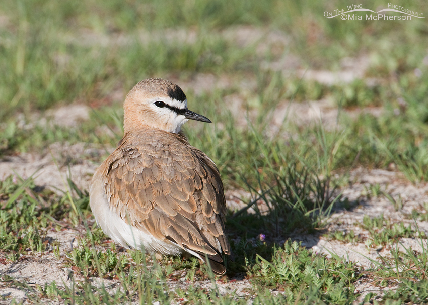 Mountain Plover female resting on the ground