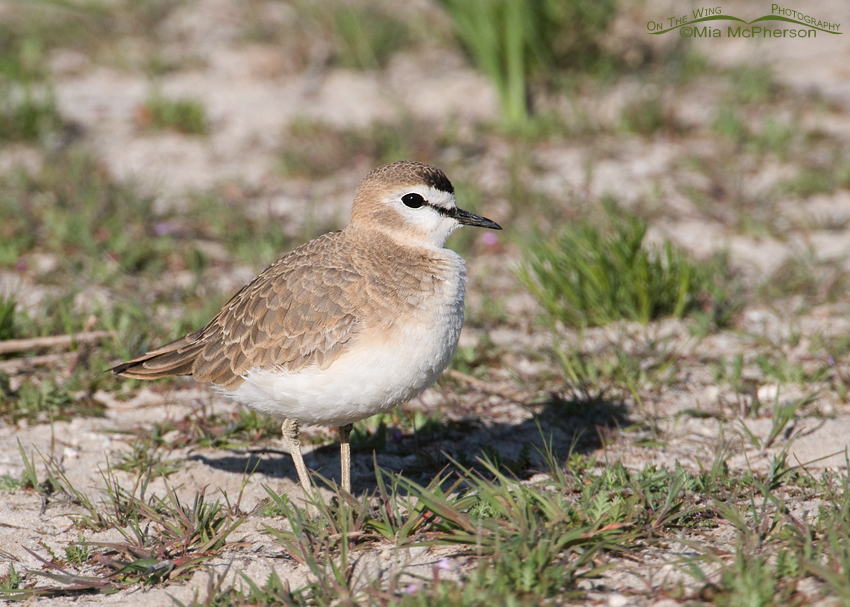Female Mountain Plover with an eye on me