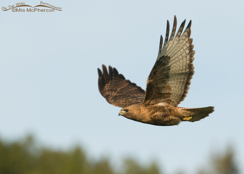 Red-tailed Hawk flying over the tree line