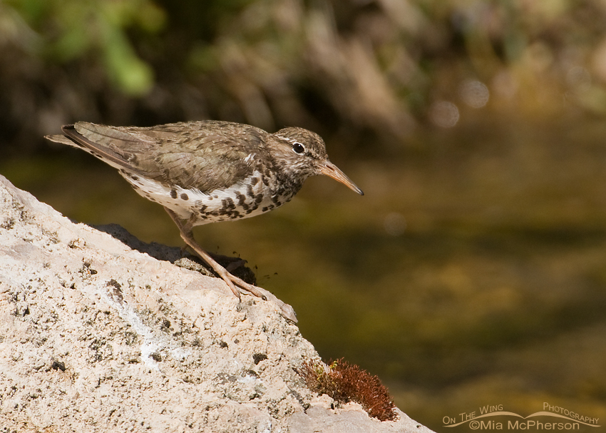 Spotted Sandpiper in breeding plumage - Montana